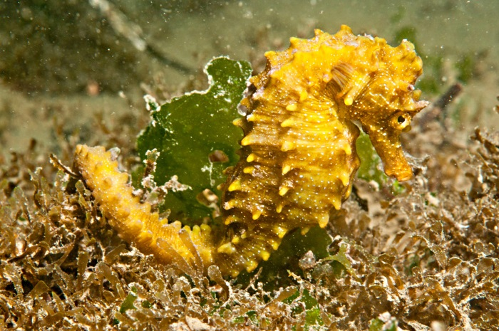 Hippocampus_guttulatus_Femelle_Thau_©Patrick_LOUISY-4639-bd
