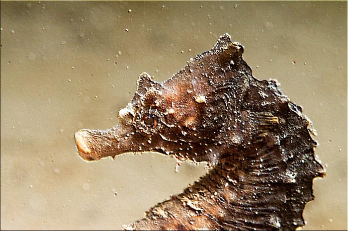 Hippocampus_hippocampus_©Patrick_Louisy_120726A-2869-bd