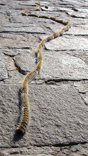 che290px-Thaumetopea.pityocampa.01