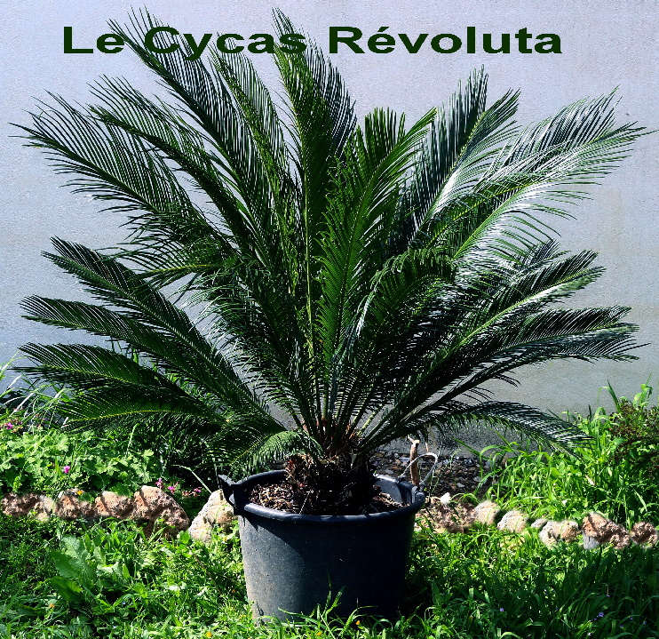 flflCycas Revoluta